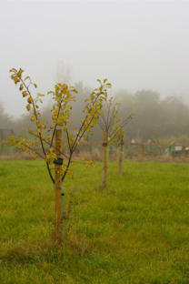 The Village Orchard One Year After the First Planting